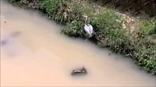 近くの川で佇んでいた鳥、調べるとアオサギ(蒼鷺)でしたが、 殆ど同じ...