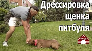 Дрессировка щенка питбуля  Начало