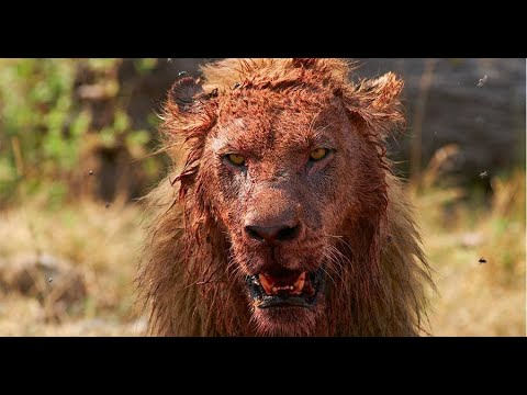 Download LION Attacks On HUMAN | MAN-EATING Lions | Tanzania BIG CATS National Geographic Documentary 2020