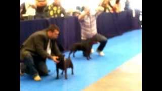 Zudhell  Brenda  Pink Staffordshire Bull Terrier Best Of De Breed