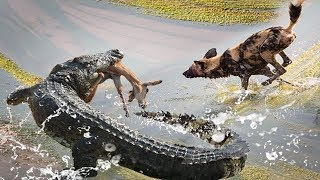 Brave Wild Dogs Meeting Ruthless Crocodile at Water Edge - Wild Dogs vs Crocodile Amazing Footage