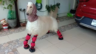 Afghan Hound and his new set of red boots.