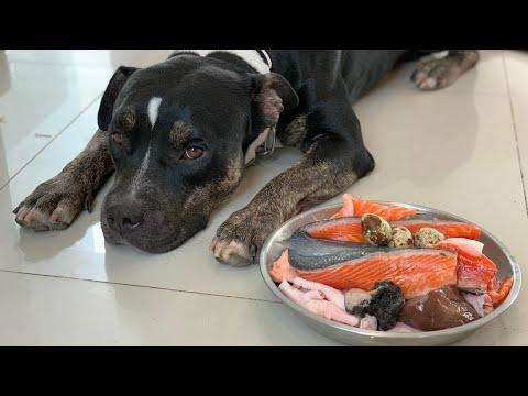 oliang-the-pit-bull-eats-salmon&chicken-combo-[asmr]-|-raw-diet-|-mukbang-犬が生の肉を食べる-|-4k
