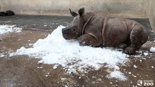 Watch Baby Rhino Freak Out Playing With Snow For First Time