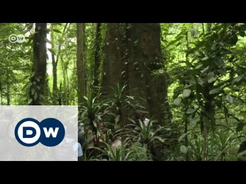 Africa's tallest tree under threat | Eco-at-Africa