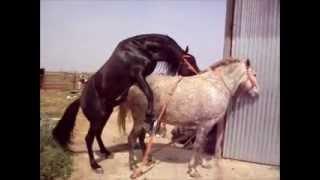 Repeat youtube video cubriendo yegua en añora cordoba. caballo Español castaño morcillo..wmv