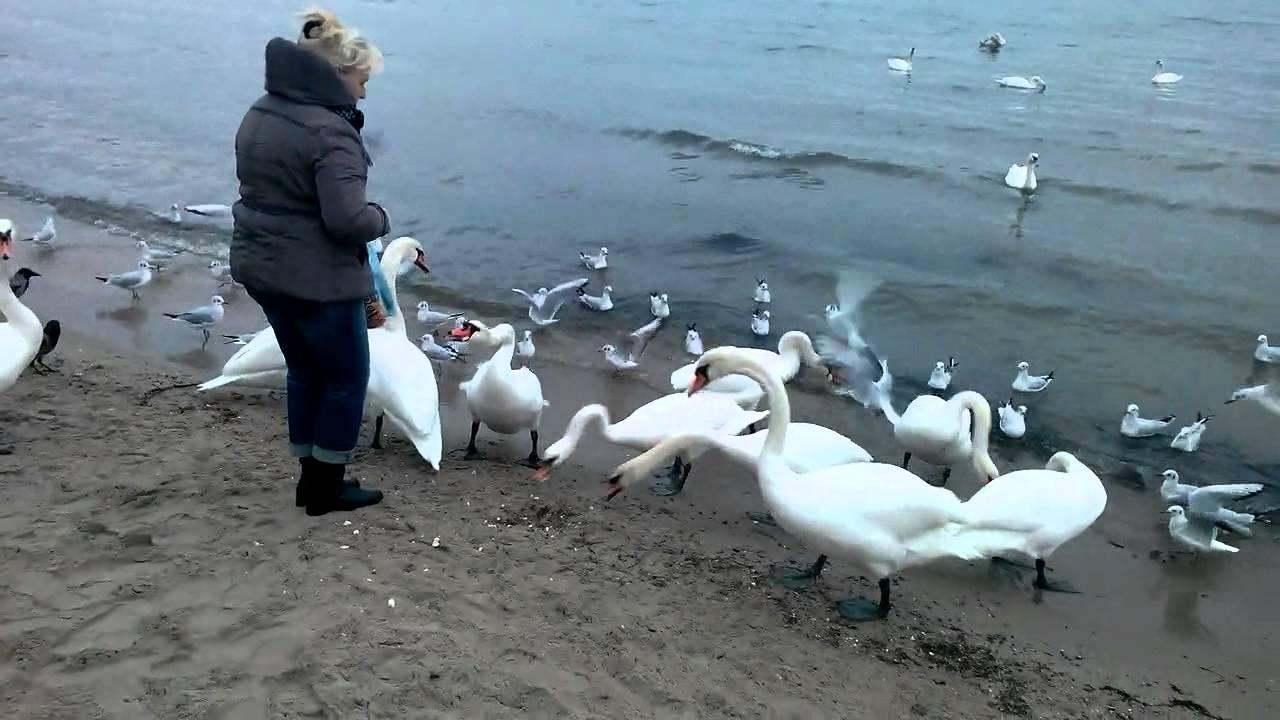 Болгария, Варна, Белые лебеди в Черном море. - YouTube