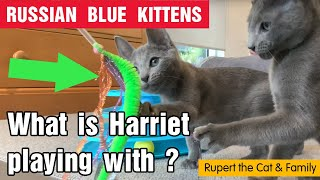 Russian Blue Kittens playing with cat toys  What is Harriet playing with?