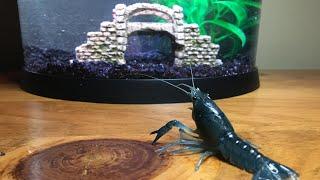 Buying A New BLUE  Crawfish Tank!!