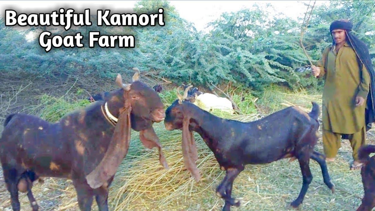 Kamori Goats|Kamori Goat farm in Pakistan|Complete Documentary|Profit Info