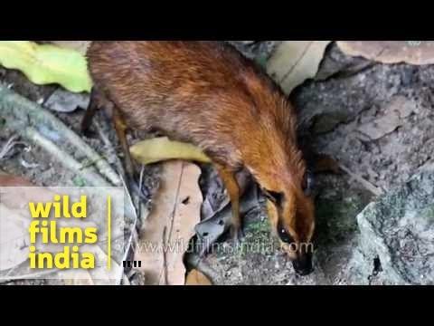 Java Mouse Deer (Tragulus javanicus)