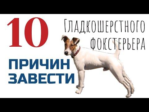 10 причин завести гладкошерстного фокстерьера/Фоксблог