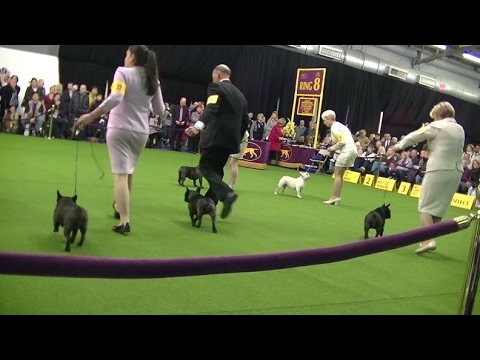 French bulldog Westminster dog show 2017 b