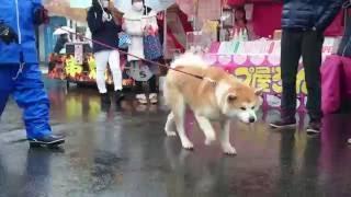 大館アメッコ市の催し物の一つ。秋田犬のふるさと大館市ならではのおも...