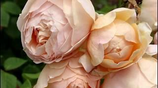花咲きファーム #イングリッシュガーデン。#バラ園 1:15 レディ・エマ・...