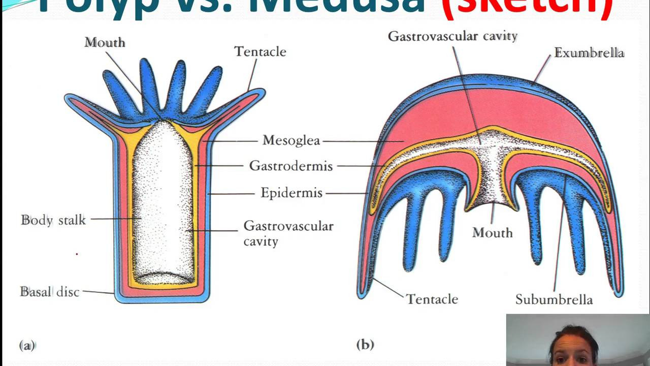 Cnidarians Anatomy Anatomy Drawing Diagram [ 720 x 1280 Pixel ]