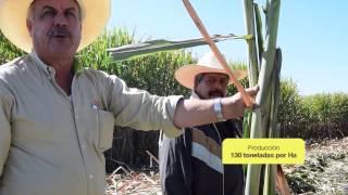VERSION CORTA Diatomix Cana en Tala Jalisco 2016 - 2017