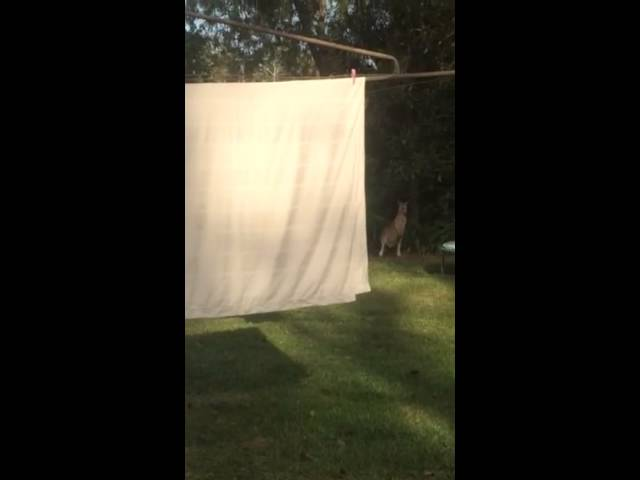 Ninja Kangaroo Flips on a Trampoline