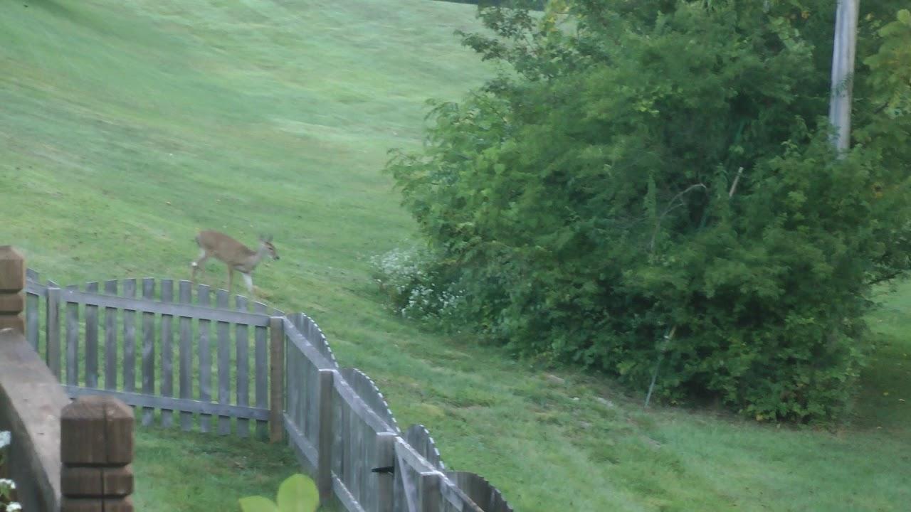 2 baby deer near our backyard near our backyard in st louis