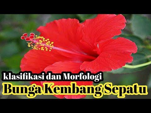 Klasifikasi Dan Morfologi Tanaman Bunga Kembang Sepatu Youtube