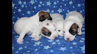 Coton Puppies For Sale - Kiwi 4/14/20