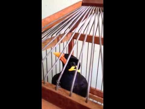 Chim Nhồng nói siêu dễ thương