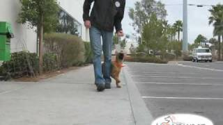 Teaching A Puppy To Heel