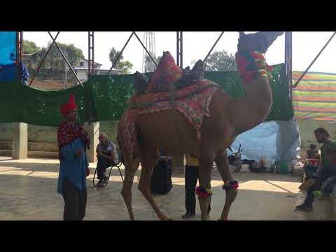 camel dance in rukum khalanga