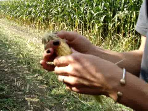 farm girl corn silage from YouTube · Duration:  1 minutes 8 seconds