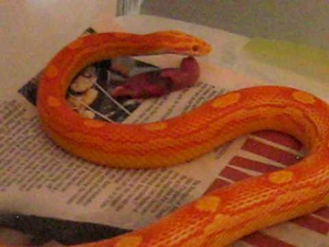 Motley Albino Corn Snake Eating A Fuzzy Rat