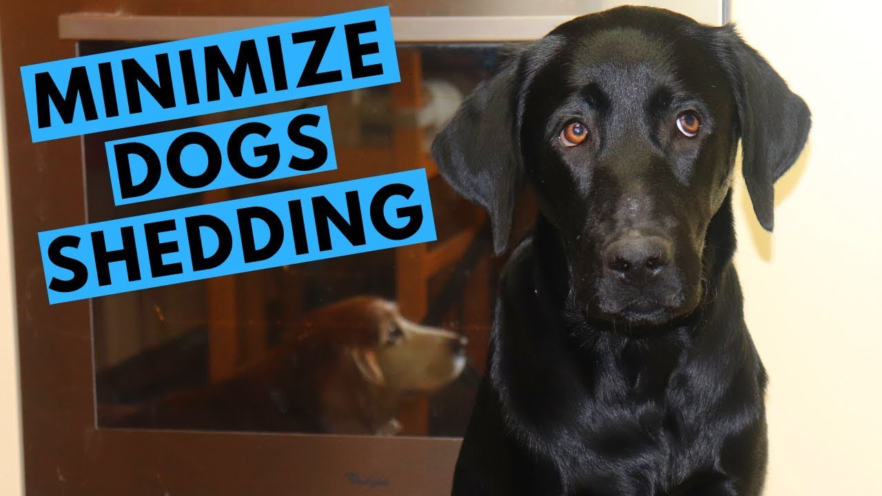 How to Minimize Dog Shedding with Andy the Labrador
