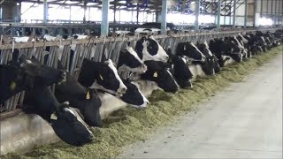 Tour of modern, expanding dairies in China