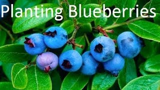 Planting Cold Hardy Blueberries in the Alberta Urban Garden