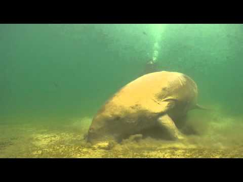 Diveworld Videos | Dugong at Abudabbab