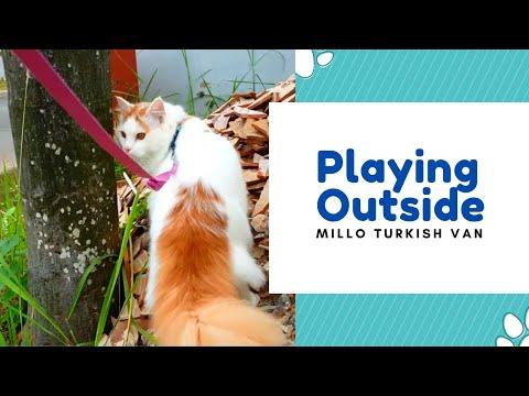 Millo The Turkish Van : Playing Outside