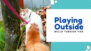 Millo The Turkish Van : Playing Outside
