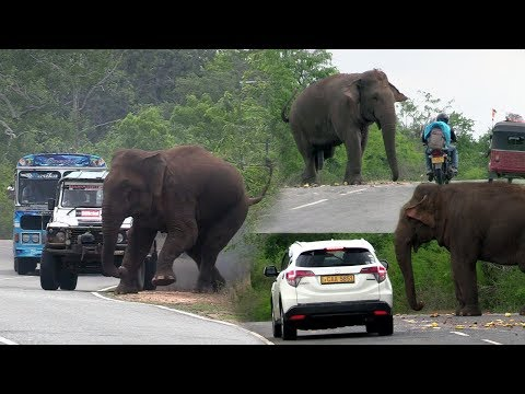 Big wild elephant waiting for food at the Kataragama road !