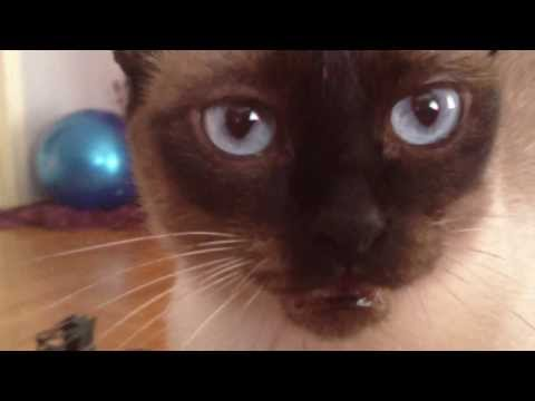 Meet Mika - The Siamese Cat - who always complains