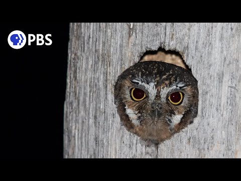 Meet the World's Smallest Owl