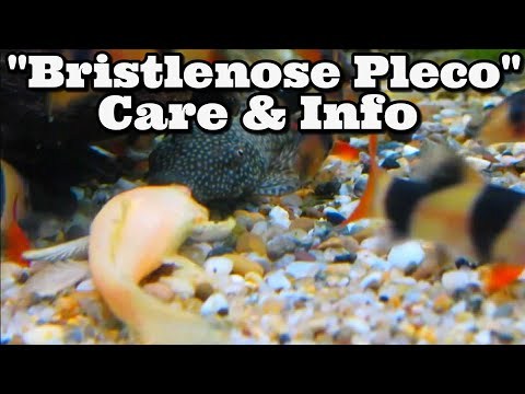Bristle Nose Catfish Care And Information - Bristlenose Plecos - Ancistrus