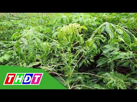 Thừa Thiên - Huế: Hơn 1.000ha khoai mì bị bệnh khảm lá | THDT