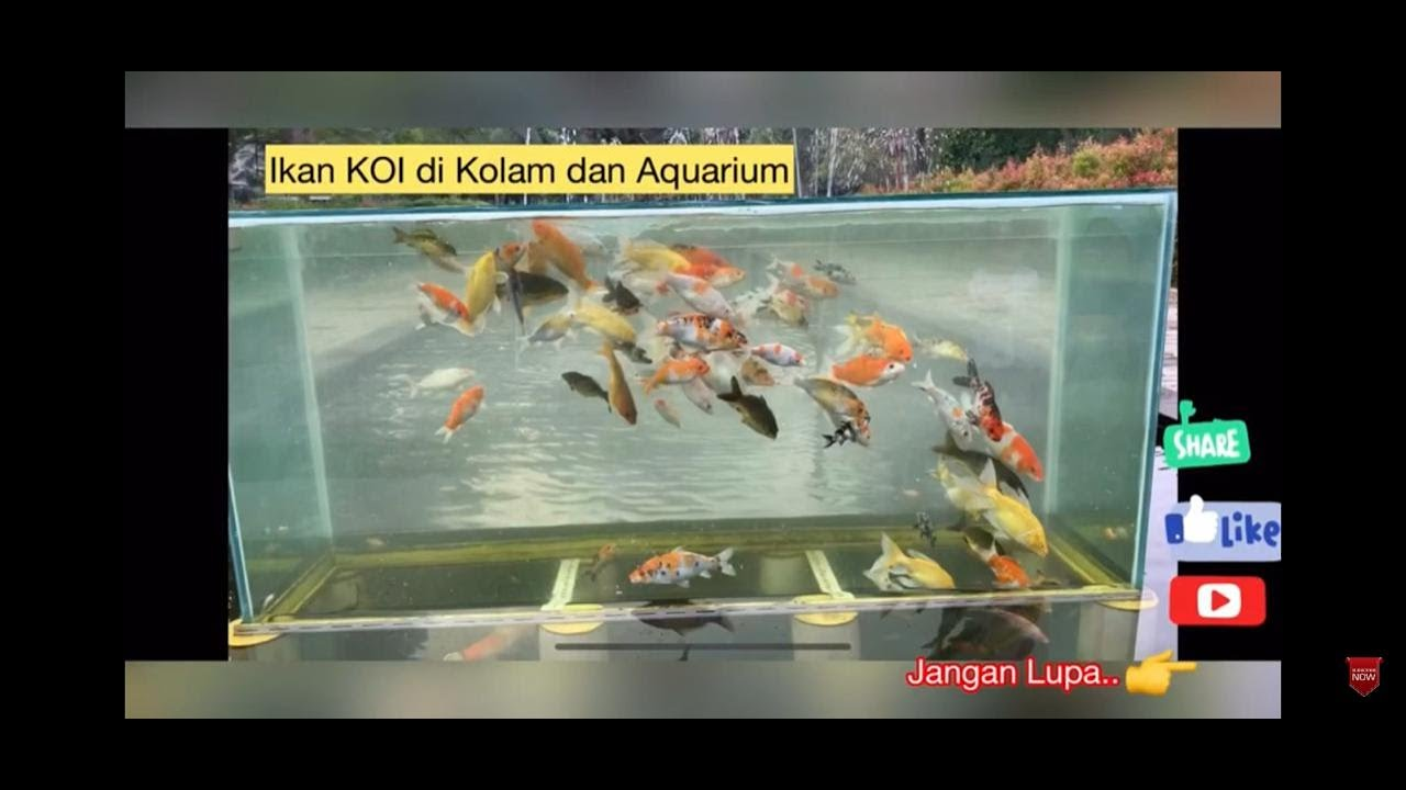 Ikan Koi Langka