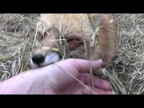 Wet Fox in the Hay