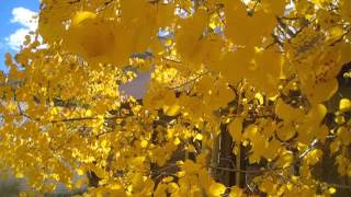 Golden Aspen Leaves - Not Too Shabby!