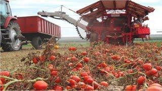 تكنولوجيا تصنيع وتعليب الطماطم