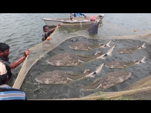 Net Fishing - Amazing Catch FIshes From River