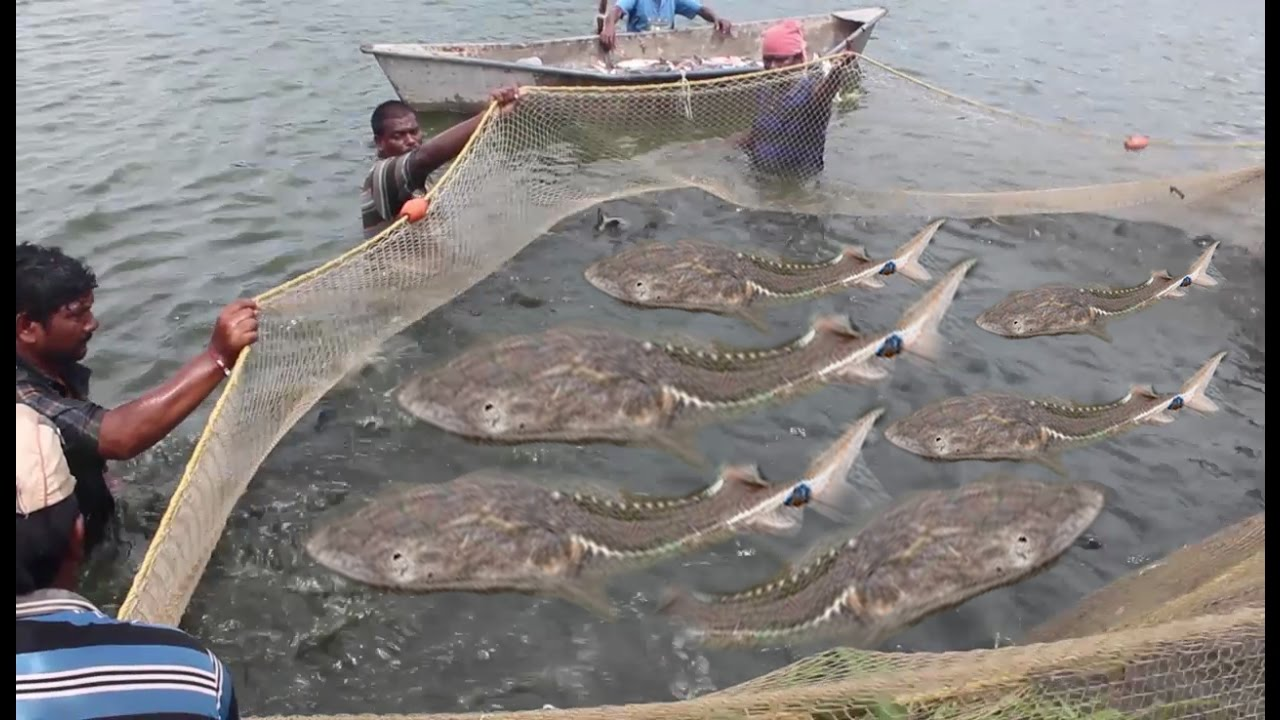 Net Fishing - Amazing Catch FIshes From River - YouTube