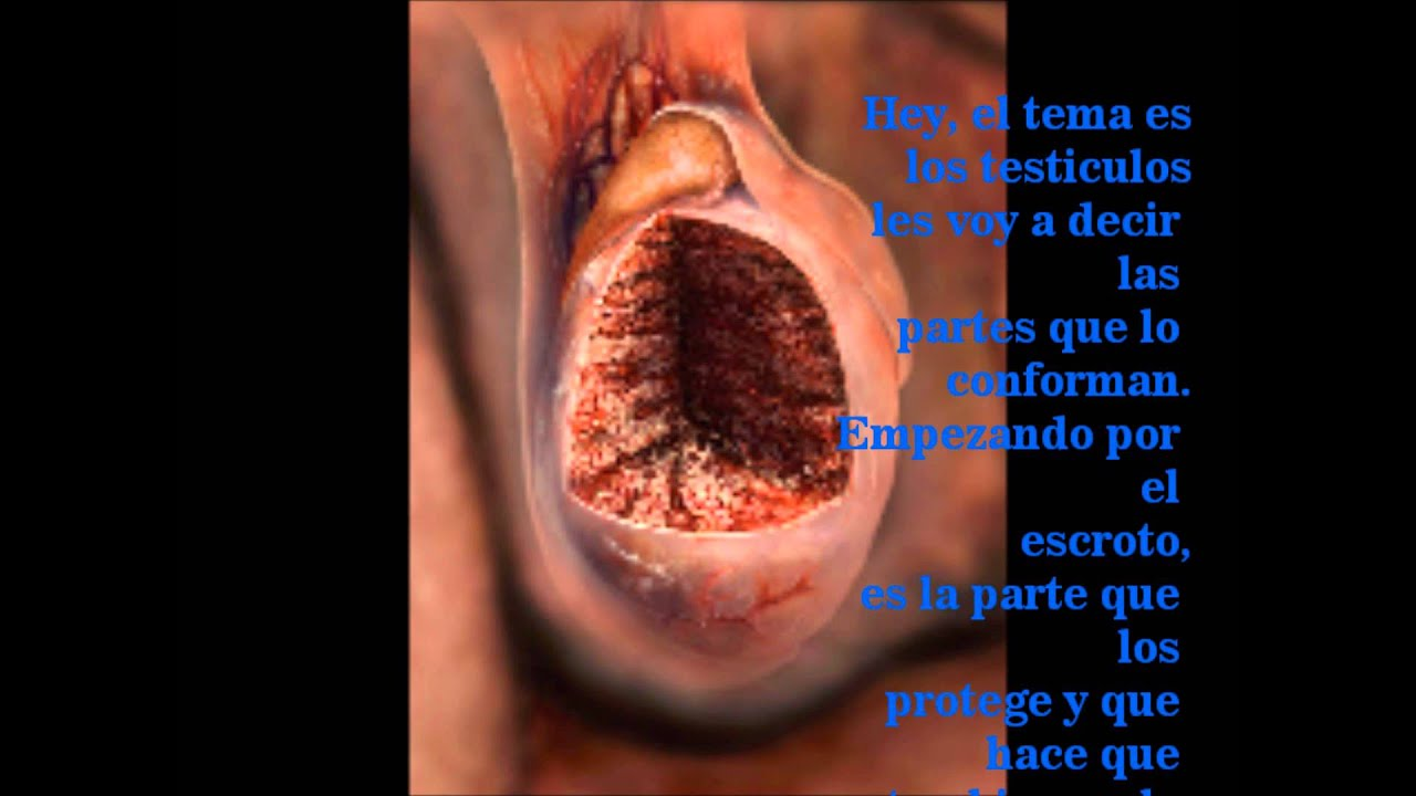 funcion de los testiculos - YouTube