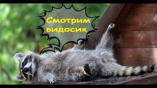 Еноты Смешные видео Лучшие приколы с енотами