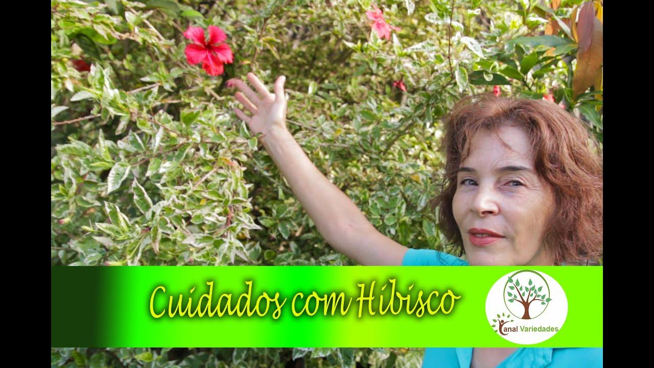 A flor do hibisco op o de cerca viva jardinagem for Cerca b b